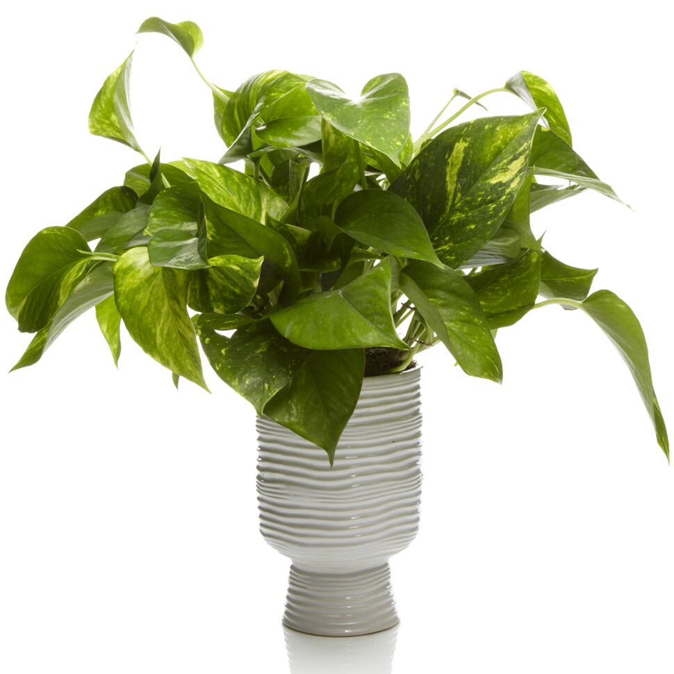 Potted Pothos