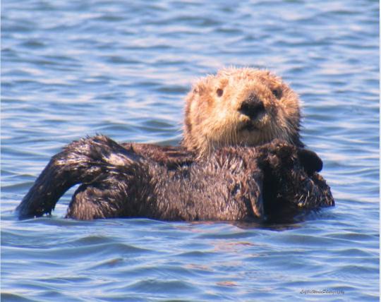 "Sea Otter 16"" x 20"" Canvas Print"