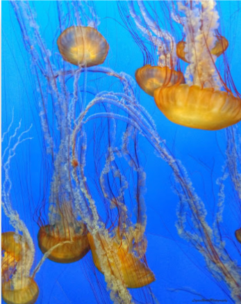"Pacific Sea Nettle 11"" x 14"" Canvas Print"