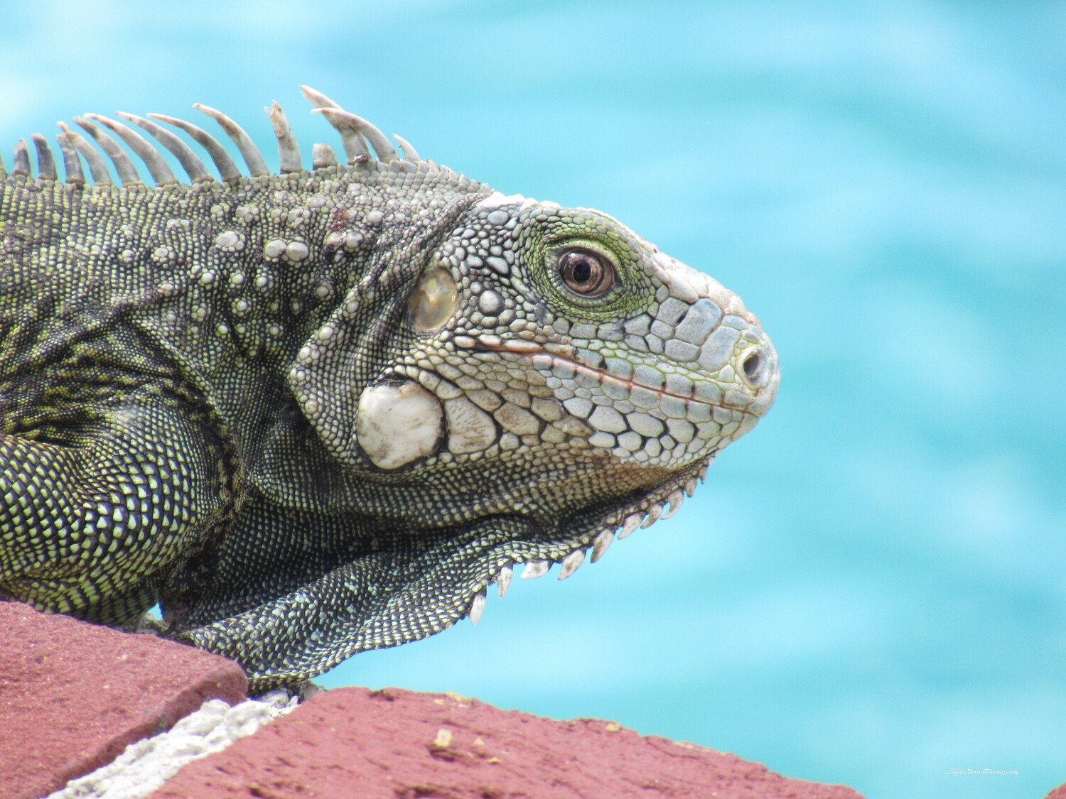 "Green Iguana Sunning 12"" x 16"" Photo Print"