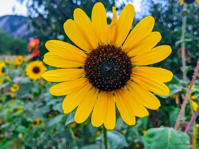 Sunflower 15