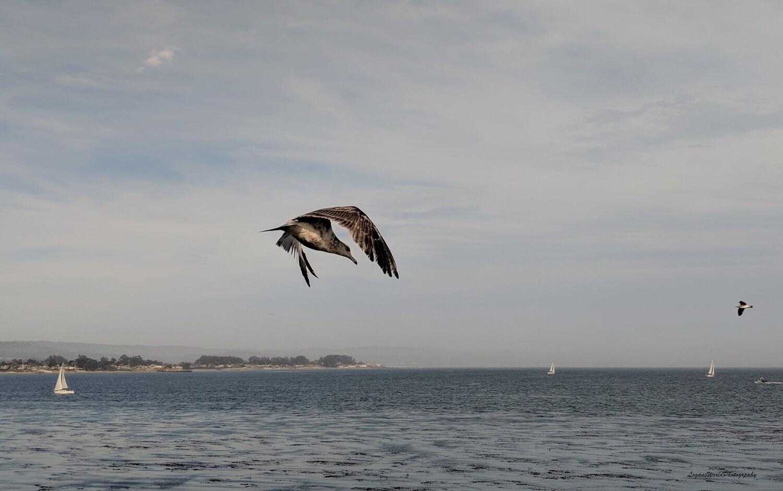 """Western Gull 9"""" x 14"""" Photo Print"""