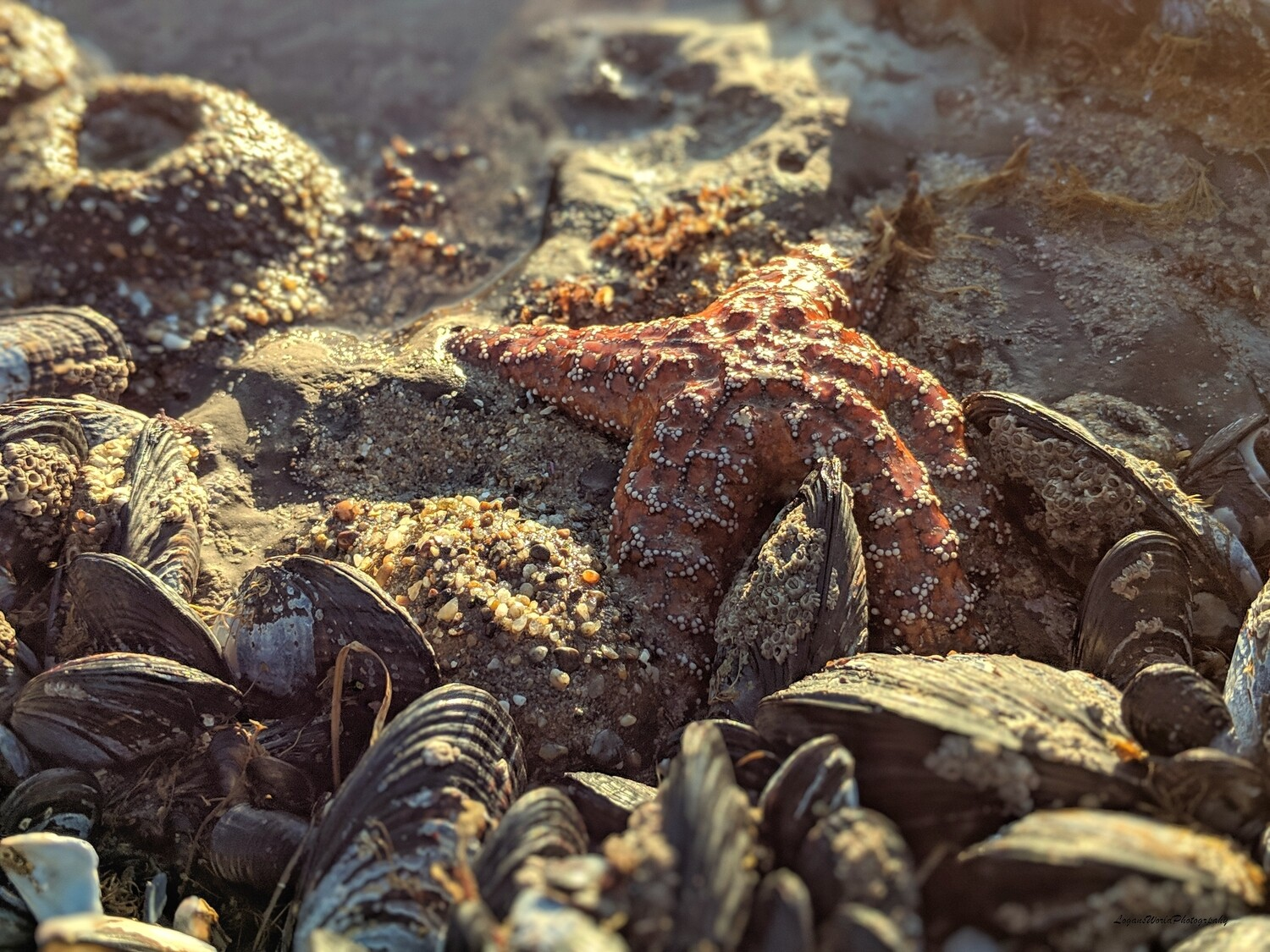 "Ochre Sea Star 12"" x 16"" Photo Print"