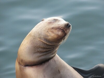 Wounded Sea Lion 15
