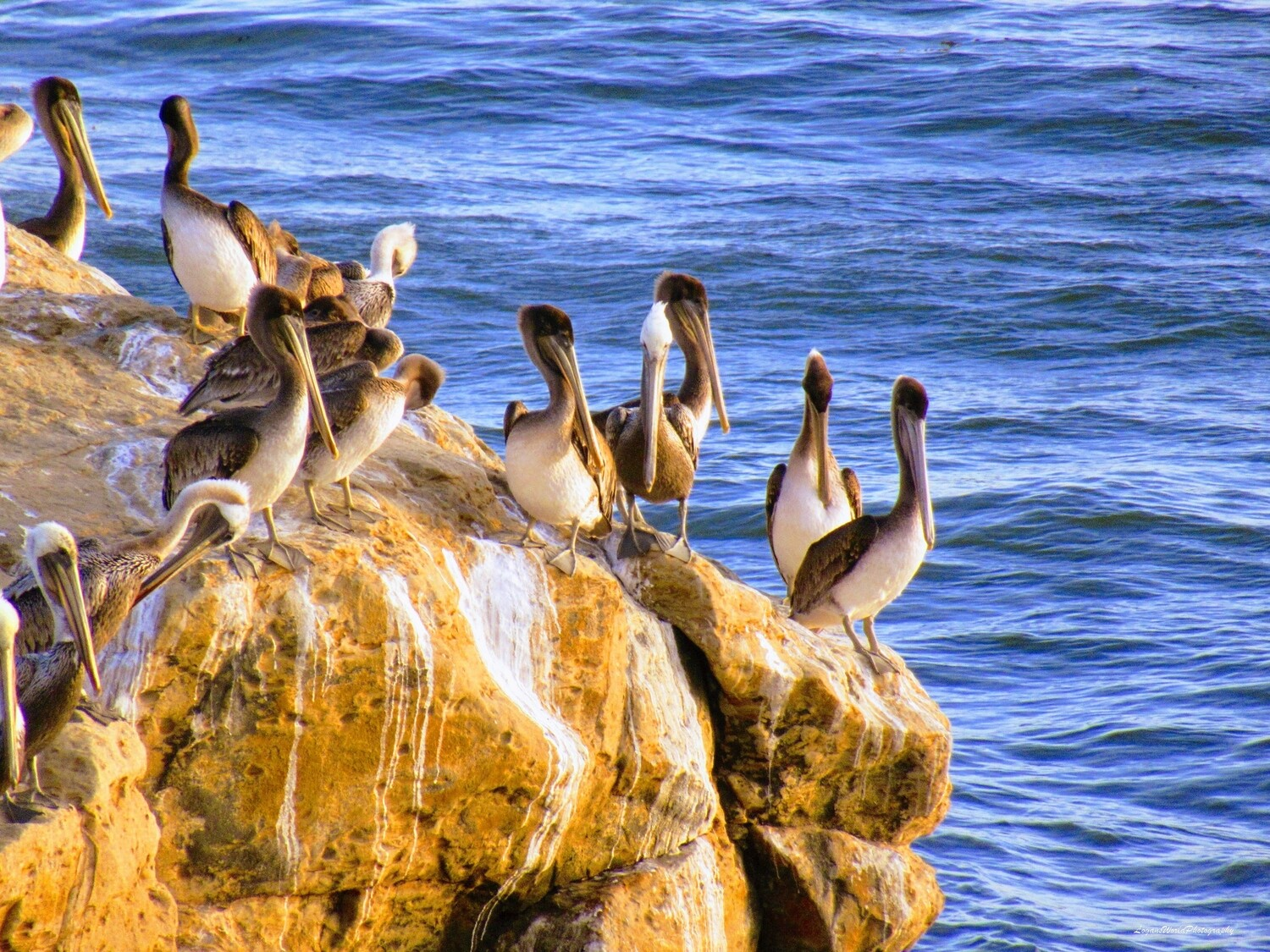 "Pelicans on a Rock 12"" x 16"" Photo Print"