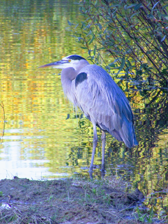 "Great Blue Heron 11"" x 14"" Photo Print"