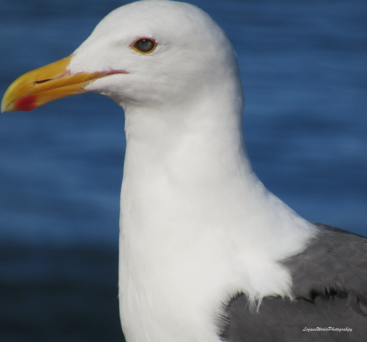 "Seagull 12"" x 12"" Photo Print"