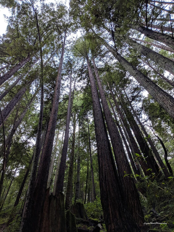 """Redwoods 12"""" x 16"""" Photo Print"""