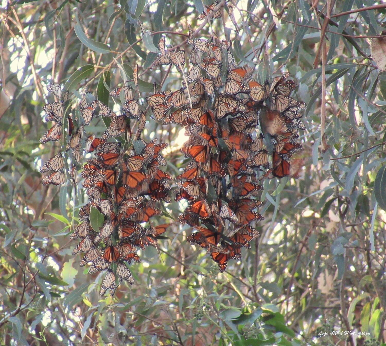 "Monarchs 12"" x 16"" Photo Print"
