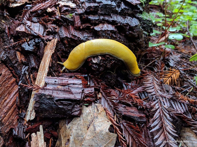 """Banana Slug 12"""" x 16"""" Photo Print"""