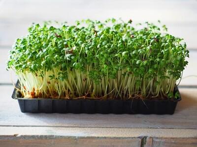 Salad Cress - Punnet