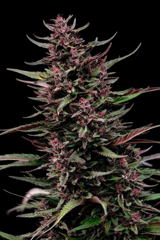 Purple Emperor by Lion Tree Farms- Organic Hemp CBD Flower