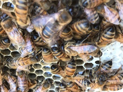 Hive inspection Varroa treatment workshop  2021 dates coming soon
