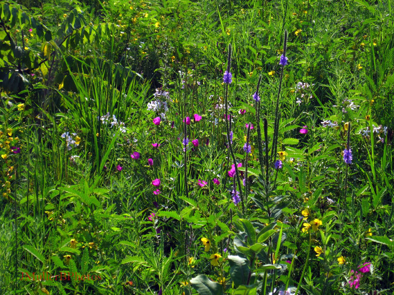Vervain, Partridge Pea, Mallow - Wisconsin August 2012