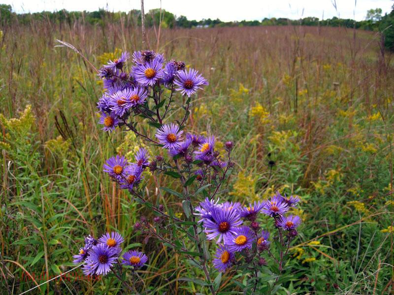 New England Aster Flowers - September 2012