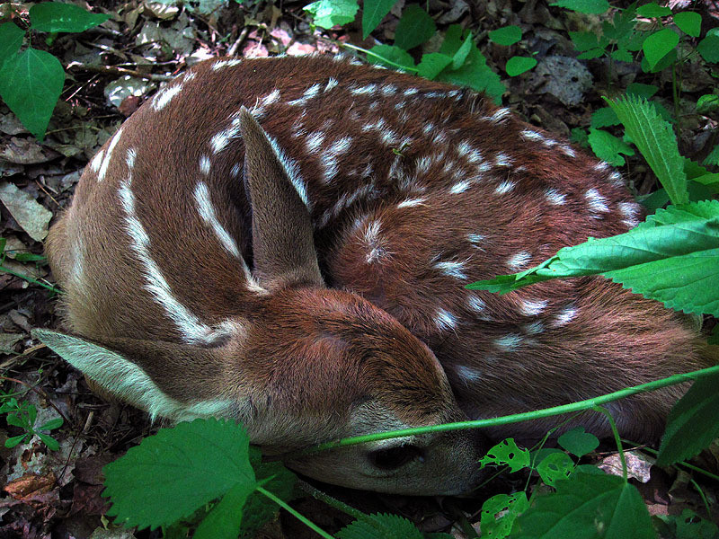 Fawn Curled Up 2 - Iowa May, 2012