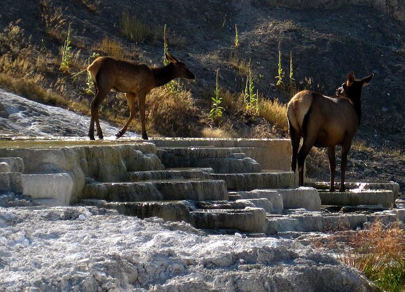 Elk Cow, Calf at Mammoth Hot Springs - Wyoming August, 2012