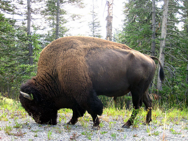 Bison Bull - Wyoming August 31, 2012