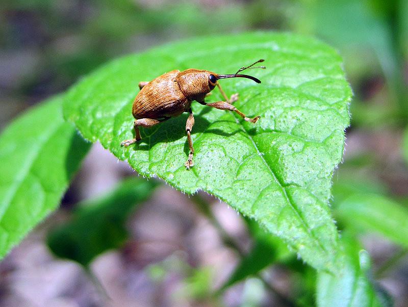 Acorn Weevil, IA May 2012