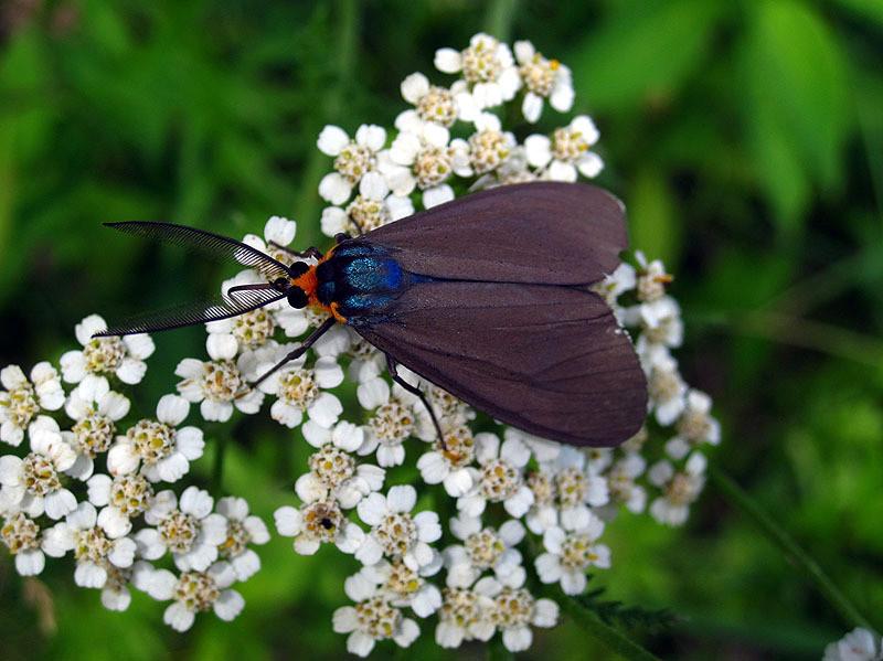 Tiger Moth, Ct Virg. July 2013