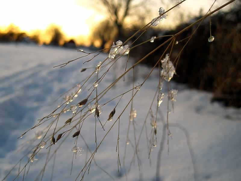 Ice on Switchgrass at Sunset - February 2013