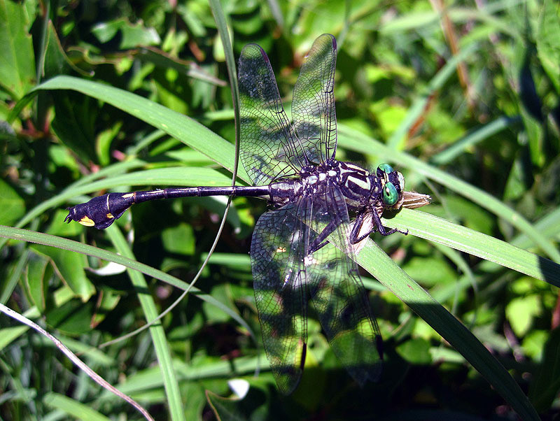 Clubtail, Dragonfly June 2012