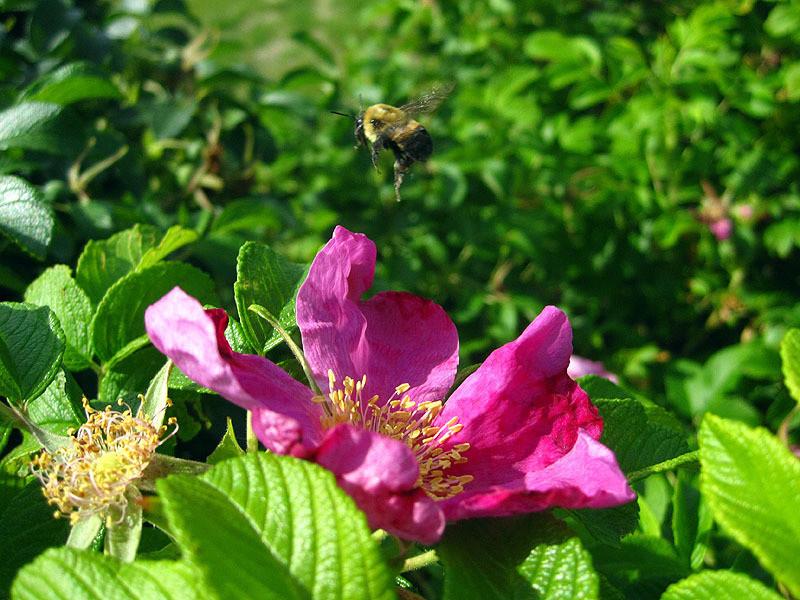 Bumblebee Leaving Rose, WI May 2012