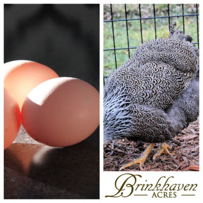 Silver Penciled Wyandotte Hatching Eggs