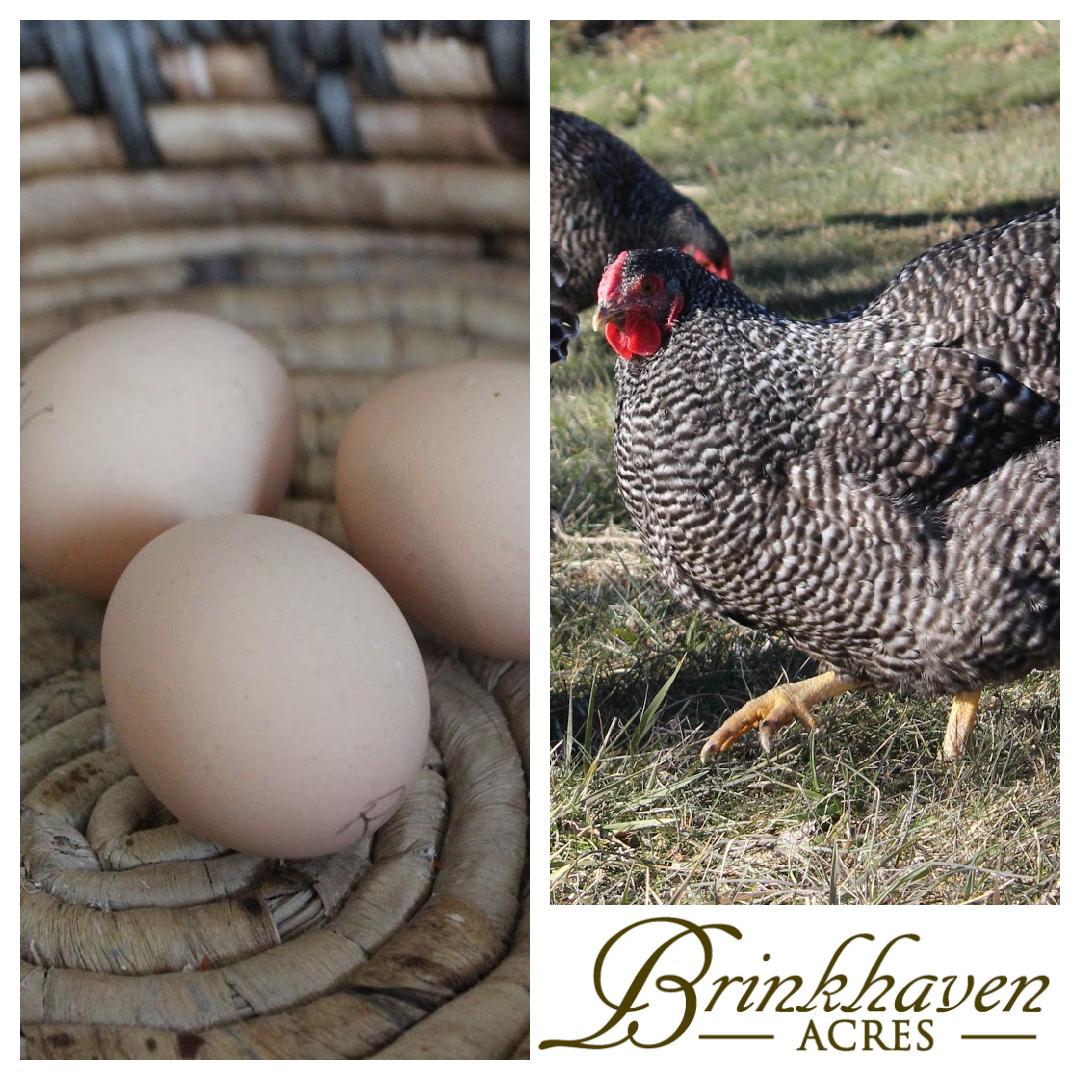 Barred Wyandotte Hatching Egg