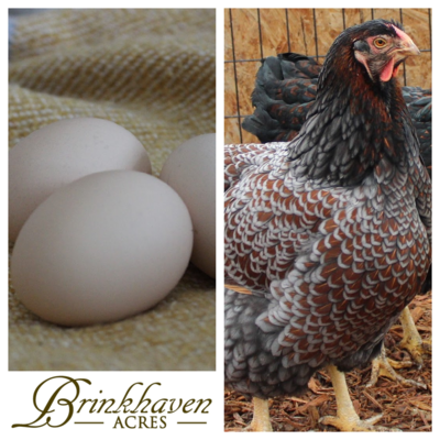 Blue Laced Red Hatching Egg