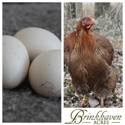 Partridge Wyandotte Hatching Eggs