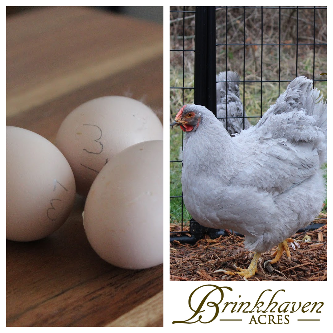 Lavender Wyandotte Hatching Eggs