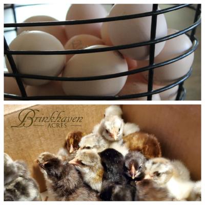 Assorted Wyandotte Hatching Eggs