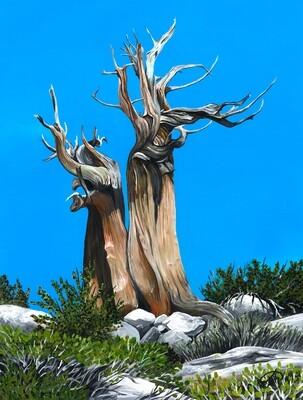 PRINT: Bristlecone Pine