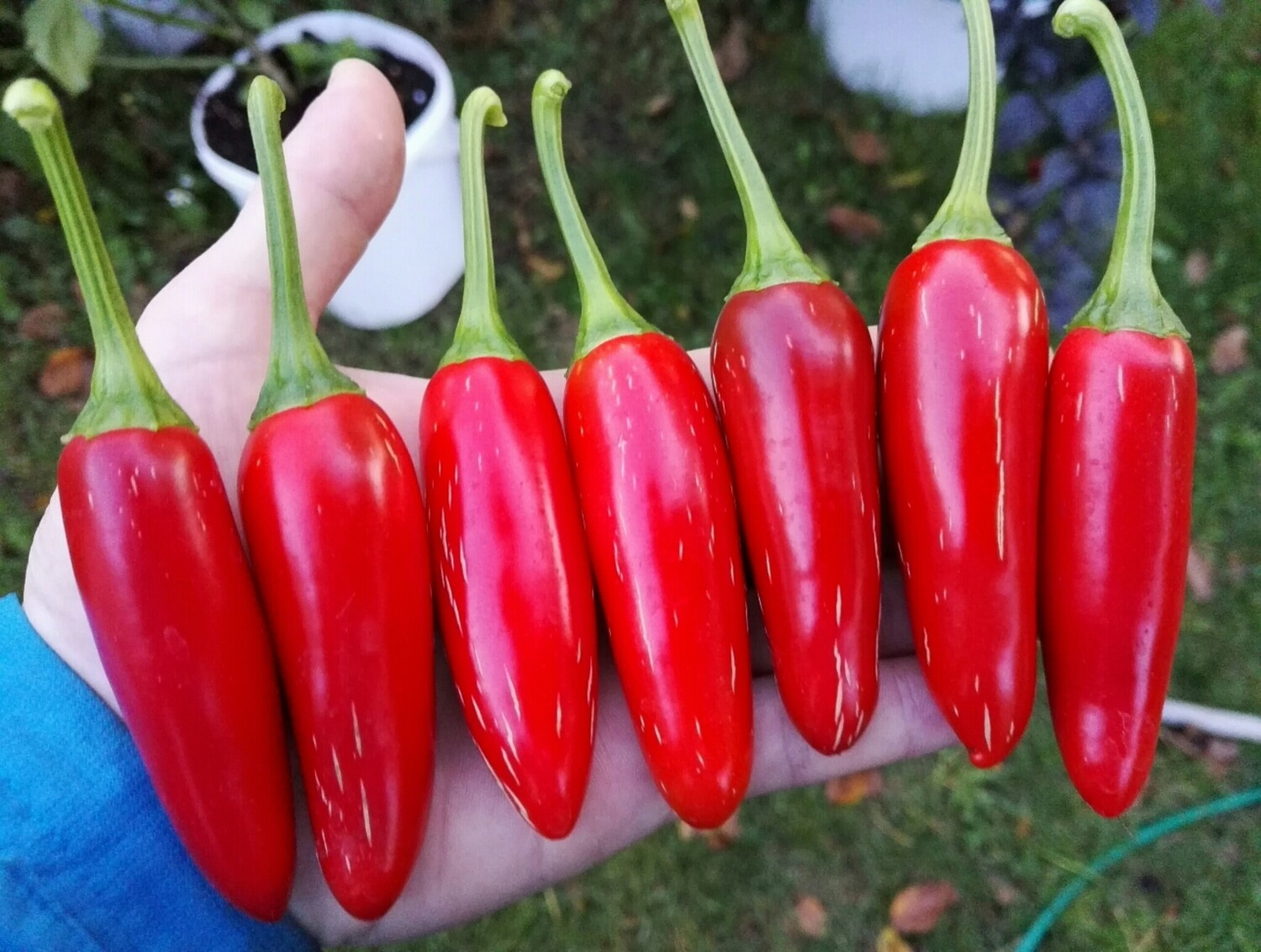 Jalapeno Summer Heat