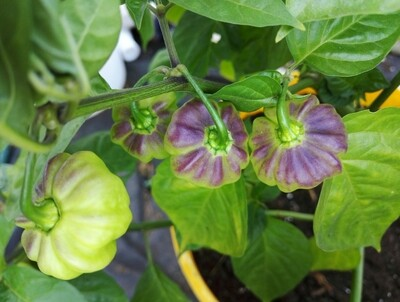 Aji Catchucha Purple Splotched
