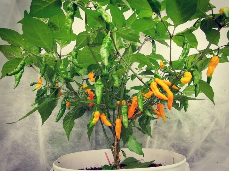 Aribibi Orange (dark)