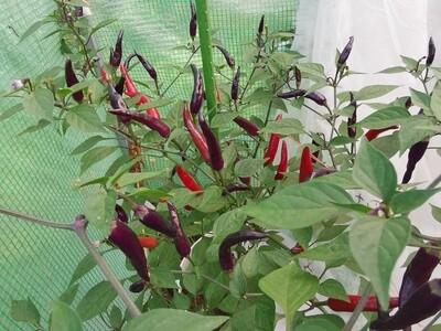 Thai chilli purple
