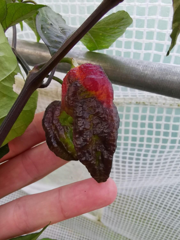 Pimenta jolokia Purple / Peach