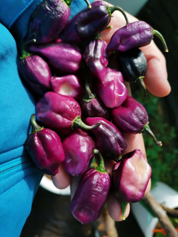 Pimenta Purple/white
