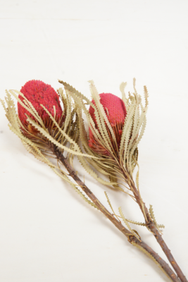 Banksia Hookerana | dusty rosa