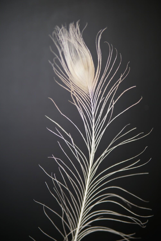 Pfauenfeder   Weiß