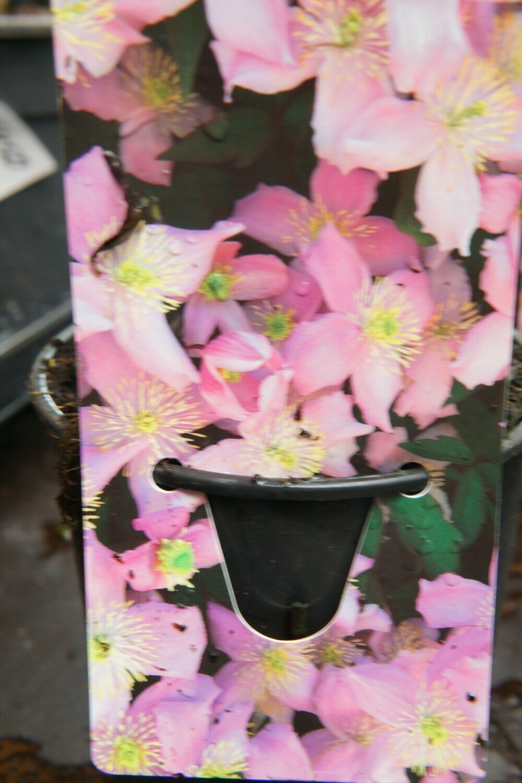 Clematis | Fragrant Spring