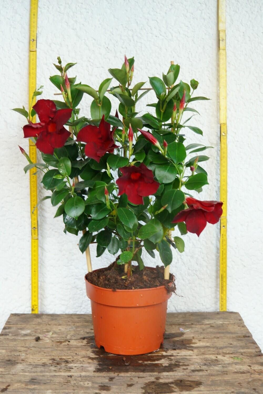 Dipladenia | Rankpflanze