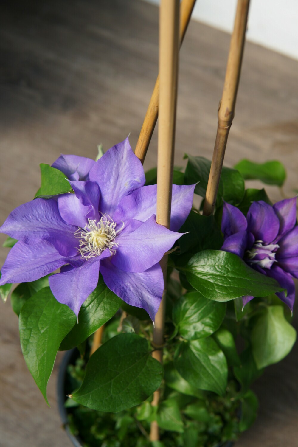 Clematis | Olympia