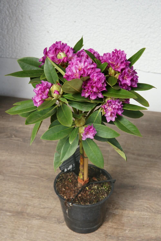 Rhododendron | Polarnacht