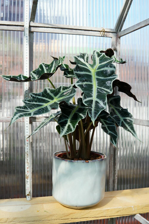 Alocasia Sanderina | Polly