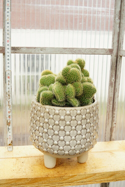 Kaktus | Yellow Wonder