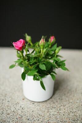 Rose | Mini