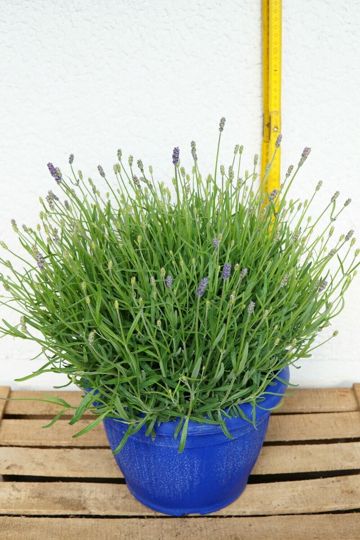 Lavendel | Busch
